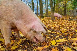 Outdoor free range domestic Landrace pigs (Sus scrofa domesticus) in forested pen, autumn, Germany.  -  Klein & Hubert