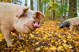 Outdoor free range domestic pigs (Sus scrofa domesticus) in forested pen, autumn, Germany.  -  Klein & Hubert