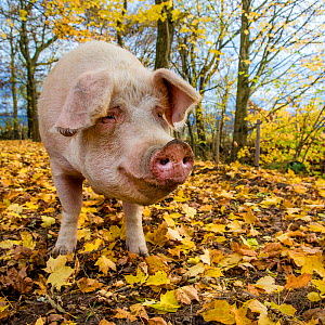 Outdoor free range domestic pig (Sus scrofa domesticus) in forested pen, autumn, Germany.  -  Klein & Hubert