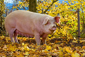 Outdoor free range domestic Pig (Sus scrofa domesticus) sow in forested pen, autumn, Germany.  -  Klein & Hubert