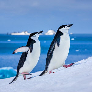 Chinstrap penguins (Pygoscelis antarcticus) two walking on snowy slope, Antarctica  -  Klein & Hubert