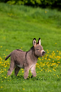 Cotentin domestic donkey (Equus africanus asinus) foal aged one month, calling, France.  -  Klein & Hubert