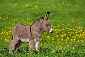 Cotentin domestic donkey (Equus africanus asinus) foal aged one month, in buttercup field, France.  -  Klein & Hubert