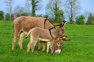 Cotentin domestic donkey (Equus africanus asinus) jenny and foal aged one month, grazing in field, France.  -  Klein & Hubert