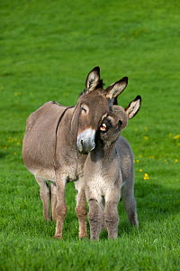 Cotentin domestic donkey (Equus africanus asinus) jenny and foal aged one month, nuzzling, France.  -  Klein & Hubert