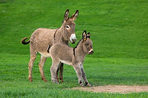 Cotentin domestic donkey (Equus africanus asinus) jenny and foal aged one month, playing, France.  -  Klein & Hubert