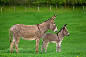 Cotentin domestic donkey (Equus africanus asinus) profile of jenny and foal aged one month standing in field, France  -  Klein & Hubert