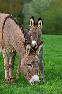 Cotentin domestic donkey (Equus africanus asinus) jenny and foal aged one month grazing, France.  -  Klein & Hubert