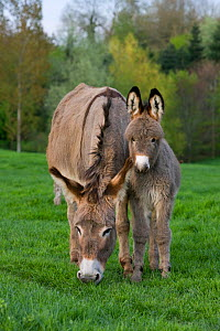 Cotentin domestic donkey (Equus africanus asinus) jenny and foal aged one month in field, France.  -  Klein & Hubert