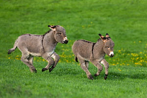 Cotentin domestic donkey (Equus africanus asinus) two foals aged one month, running in field, France.  -  Klein & Hubert