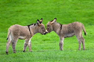 Cotentin domestic donkey (Equus africanus asinus) two foals aged one month, playing, France.  -  Klein & Hubert