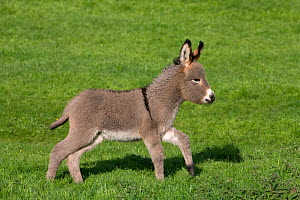Cotentin domestic donkey (Equus africanus asinus) foal aged one month running in field, France.  -  Klein & Hubert