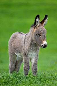 Cotentin domestic donkey (Equus africanus asinus) foal aged one month in field, France.  -  Klein & Hubert
