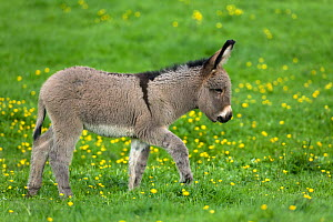 Cotentin domestic donkey (Equus africanus asinus) foal aged one month walking in buttercup field, France.  -  Klein & Hubert