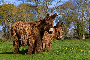 Poitou domestic donkeys (Equus africanus asinus) jenny and yearling with long coats in meadow, France. - Klein & Hubert