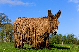 Poitou domestic donkey (Equus africanus asinus)  jenny with long coat in meadow, France.  -  Klein & Hubert