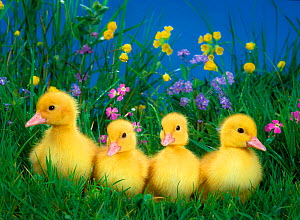 Four domestic ducklings in grass.  -  Klein & Hubert