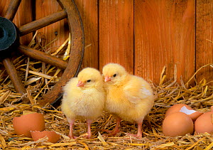 Two domestic chicks with unhatched eggs in straw. - Klein & Hubert