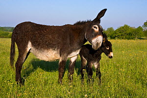 Grand noir du Berry domestic donkeys (Equus africanus asinus) jenny and newborn foal nuzzling in spring meadow, France.  -  Klein & Hubert