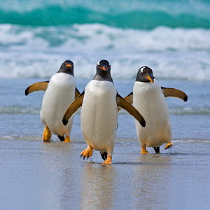Gentoo penguins (Pygoscelis papua) group of three walking along the shore, Falkland Islands - Klein & Hubert