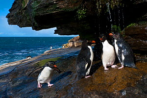 Rockhopper penguins (Eudyptes chrysocome) waiting in line to take a shower in order to clean salt from their feathers, Falkland Islands - Klein & Hubert