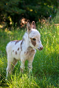 Miniature piebald domestic donkey (Equus africanus asinus) portrait of foal in long grass, France.  -  Klein & Hubert
