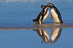 Magellanic penguins (Spheniscus magellanicus) pair standing and kissing on beach together on wet sand, Falkland Islands  -  Klein & Hubert