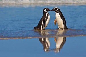 Magellanic penguins (Spheniscus magellanicus) pair standing and touching bills on beach together on wet sand, Falkland Islands  -  Klein & Hubert