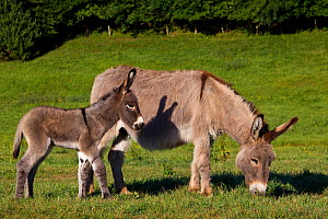 Cotentin donkey (Equus africanus asinus) jenny and foal in spring, France. - Klein & Hubert