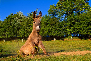 Cotentin donkey (Equus africanus asinus) getting down to roll in  dust, France. - Klein & Hubert