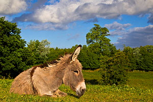 Cotentin donkey (Equus africanus asinus) old jenny over 30 years resting, France. - Klein & Hubert