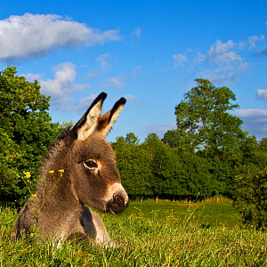 Cotentin donkey (Equus africanus asinus) portrait of foal in spring resting, France. - Klein & Hubert