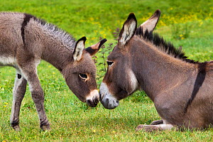 Cotentin donkey (Equus africanus asinus) jenny and foal nuzzling noses in spring, France. - Klein & Hubert