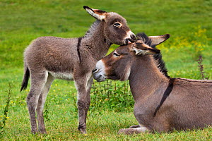 Cotentin donkey (Equus africanus asinus) jenny and foal playing in spring, France. - Klein & Hubert