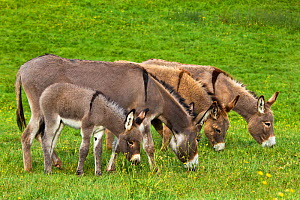 Cotentin donkey (Equus africanus asinus) jennies and foal grazing in spring, France. - Klein & Hubert