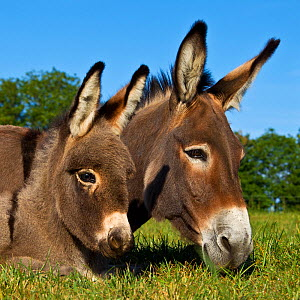 Cotentin donkey (Equus africanus asinus) head portrait of jenny and foal lying on grass in spring, France. - Klein & Hubert
