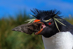Rockhopper penguin (Eudyptees chrysocome) carrying a big stone to nest, part of nest construction, Falkland Islands - Klein & Hubert