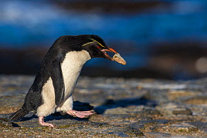 Rockhopper penguin (Eudyptees chrysocome) carrying a stone to nest, Falkland Islands - Klein & Hubert