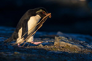 Rockhopper penguin (Eudyptees chrysocome) carrying strands of tussock as nest material,  Falkland Islands - Klein & Hubert