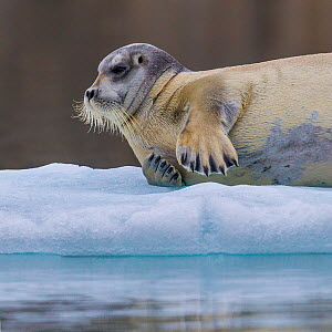 Bearded seal (Erignathus barbartus) resting on sea ice, Svalbard, Norway - Klein & Hubert