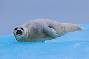 Ringed seal (Phoca hispida) resting on ice, Svalbard - Klein & Hubert