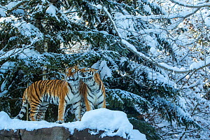 Two Siberian tigers (Panthera tigris altaica) on rock in snow, captive.  -  Klein & Hubert