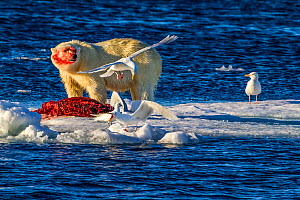 Polar bear (Ursus maritimus) large male with freshly caught Bearded seal (Erignathus barbatus) with three Glaucous gulls (Larus hyperboreus) and one Ivory gull (Pagophila eburnea) waiting to enjoy lef... - Klein & Hubert