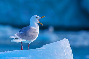 Glaucous gull (Larus hyperboreus) standing on edge of ice calling, Svalbard, Norway - Klein & Hubert