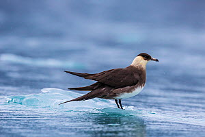 Parasitic jaeger (Stercorarius parasiticus) on ice, Svalbard, Norway  -  Klein & Hubert