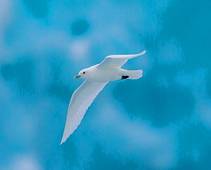 Ivory gull (Pagophila eburnea) flying in front of blue glacier ice, Svalbard  -  Klein & Hubert