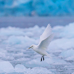 Ivory gull (Pagophila eburnea) taking off from ice, Svalbard  -  Klein & Hubert