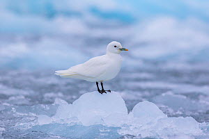 Ivory gull (Pagophila eburnea) sitting on ice, Svalbard  -  Klein & Hubert