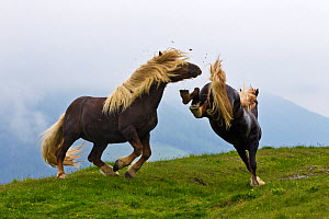 Two Noriker horse (Equus caballus) stallions with long manes, kicking and biting during fight, Austria.  -  Klein & Hubert