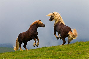 Two Noriker horse (Equus caballus) stallions with long manes, rearing during fight, Austria. - Klein & Hubert